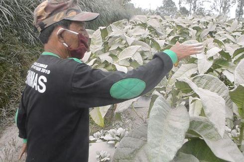417 Hektar Lahan Pertanian di Lereng Merapi Terdampak Abu Vulkanik