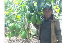 Fakta Alpukat Seberat 2 Kg Asli Blitar, Hasil Setek Bibit Thailand, 1 Pohon Berbuah 200 Biji