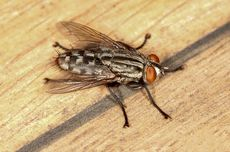 Tips Membasmi Lalat yang Beterbangan di Rumah