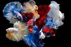 Hobi Pelihara Ikan Cupang demi Menjaga Kewarasan di Tengah Pandemi