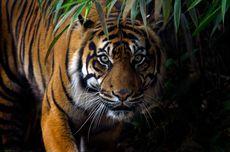 Pendakian Gunung Sibayak Tutup Sementara karena Ada Harimau Sumatera