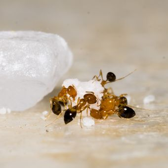 Cara mengusir semut dengan bahan alami