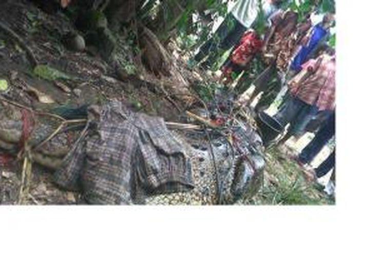 DIIKAT - Buaya tangkapan warga Sungai Rengas, Kubu Raya, diikat di halaman rumah warga setempat, Rabu (16/10/2013).