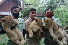 3 Bayi Singa dan 1 Bayi Jerapah Lahir di Taman Safari Prigen