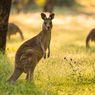 Tidak Hanya Australia, Indonesia Juga Punya Kanguru