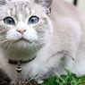 Penyebab dan Cara Mendiagnosis Kurap pada Kucing