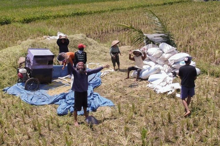 Sejumlah muda-mudi yang tergabung dalam komunitas Harvestmind menggarap sawah organik terintegrasi energi ramah lingkungan di Desa Karangpetir, Kecamatan Kalimanah, Kabupaten Purbalingga, Jawa Tengah.
