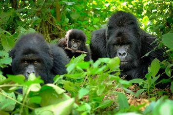 Gorila Ternyata Juga Menjaga Jarak untuk Cegah Penyebaran Penyakit, Studi Temukan