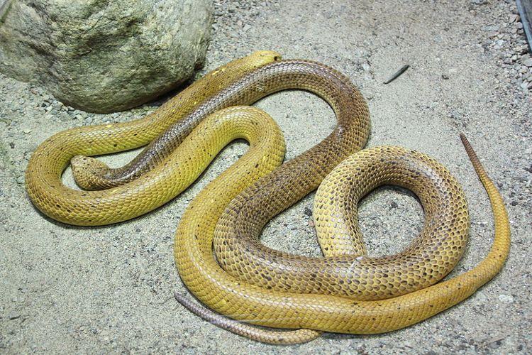 Cape cobra (Naja nivea) salah satu jenis ular kobra yang makan ular lain.