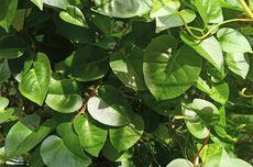 Anredera cordifolia: Medicinal Plant with Many Benefits