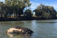 Belasan Bangkai Sapi Ditemukan Terapung di Sungai Australia