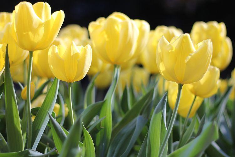 Ilustrasi bunga tulip kuning.