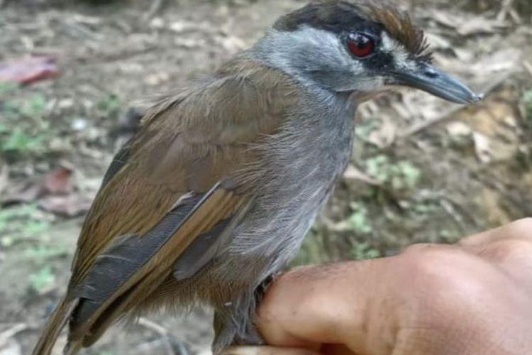 Foto pertama burung Pelanduk Kalimantan (Malacocincla Perspicillata), setelah tidak terlihat selama 172 tahun, di Kalimantan Selatan, Oktober 2020.
