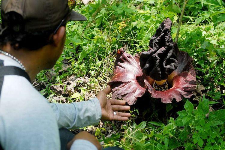 Warga menunjukkan bunga bangkai (Amorphophallus paeoniifolius) yang tumbuh bermekaran di kawasan hutan Segoro Gunung, Desa Nglinduk, Kecamatan Gabus, Kabupaten Grobogan, Jawa Tengah, Selasa (17/11/2020) sore. Ratusan bunga bangkai bermunculan di hutan seluas 600 hektar tersebut di awal memasuki musim penghujan ini.