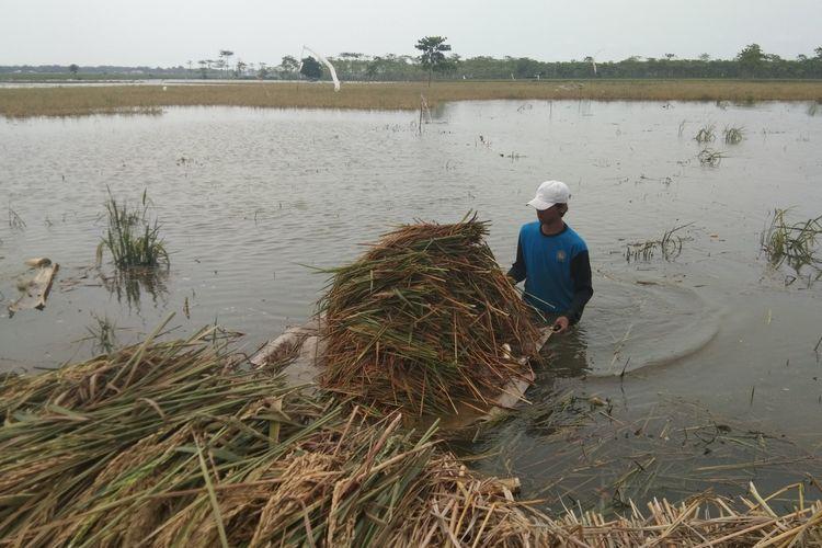 Seorang petani tengah membawa padi dengan menggunakan rakit. Mereka memanen padi yang terendam banjir di Dusun  Dusun Tegalluhur, Desa Sukamakmur, Kecamatan Telukjambe Timur, Kabupaten Karawang, Minggu (29/12/2019).