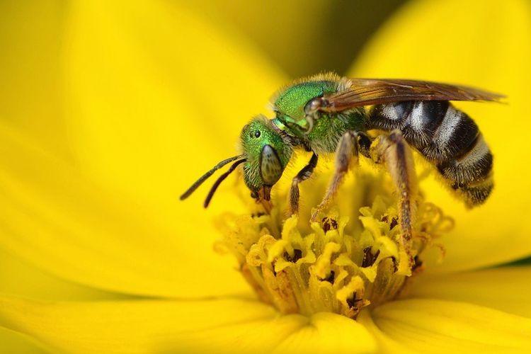 Ilustrasi lebah menghisap nektar pada bunga.