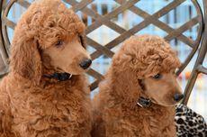 7 Ras Anjing Berbulu Cokelat yang Populer dan Menggemaskan