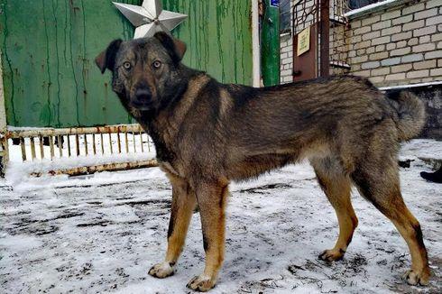 Kisah Ratusan Anjing Korban Ledakan Reaktor Nuklir Chernobyl