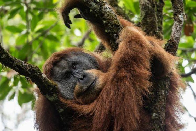Orangutan Batang Toru atau Tapanuli lebih dekat hubungannya dengan Orangutan Kalimantan daripada Orangutan Sumatera. Mereka hidup di sebuah hutan terisolasi yang ada di pegunungan Sumatera.