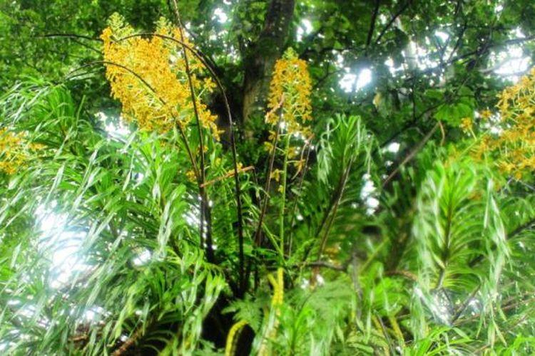 Anggrek raksasa yang saebenarnya bernama anggrek tebu atau anggrek macan, mekar di Kebun Raya Bogor hanya selama 2 bulan dalam kurun waktu 2 tahun sekali.