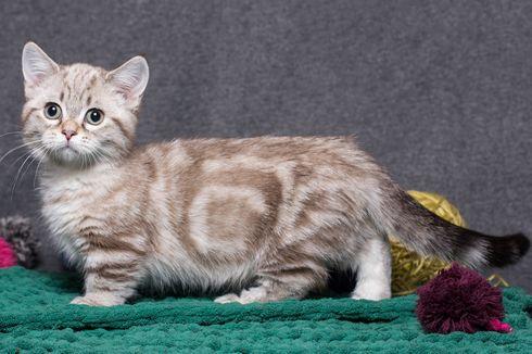 Mengenal Munchkin, Kucing Berkaki Pendek yang Menggemaskan