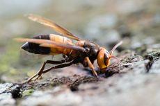 Lebah Madu Mengalahkan Kerabat Lebah Pembunuh dengan Feses, Kok Bisa?