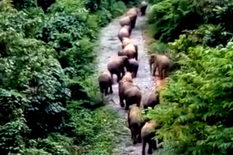 video kawanan gajah liar yang direkam warga di Kecamatan Sakti kabupaten Pidie saat turun ke pemukiman penduduk, Selasa (06/11/2018).