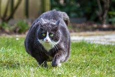 5 Risiko Kesehatan pada Kucing yang Kegemukan