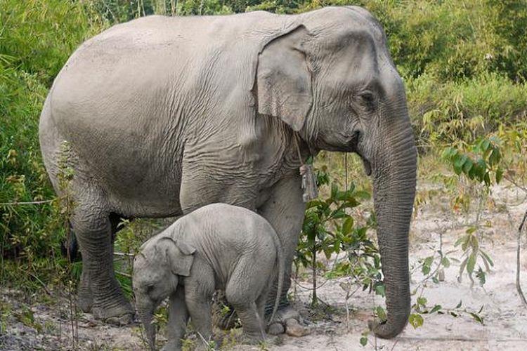 Gajah Asia berukuran lebih kecil dibanding gajah Afrika.