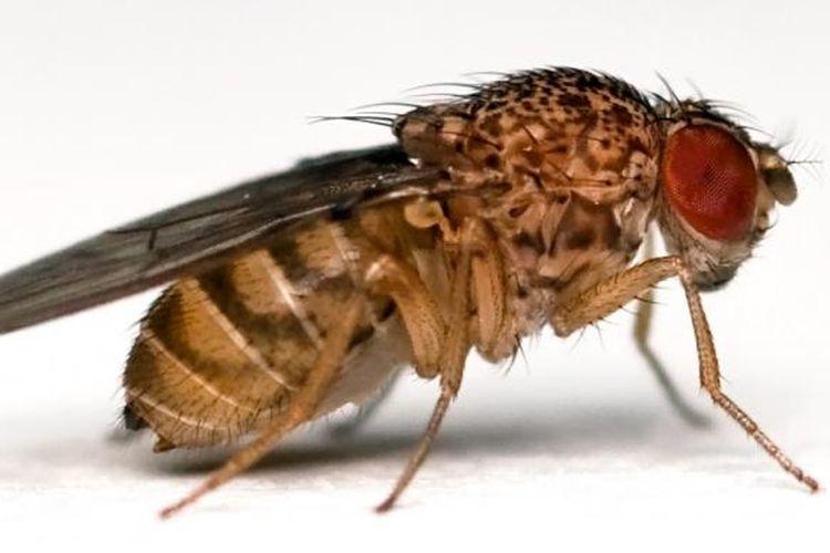 Lalat buah atau Drosophila