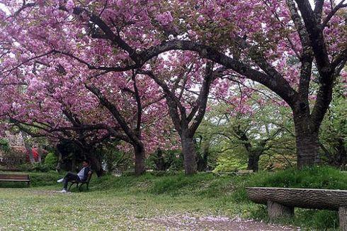 Melancong ke Jepang Bulan Maret Bisa Nikmati Dua Musim Sekaligus