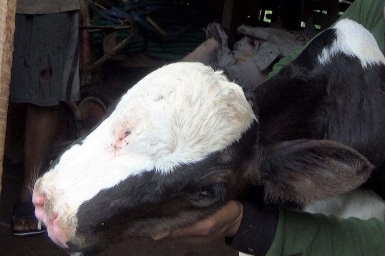 Anak sapi milik Slamet, peternak sapi asal Desa Karangan Kecamatan Bareng Kabupaten Jombang Jawa Timur. Anak sapi itu memiliki 3 biji mata dan 4 lubang hidung.