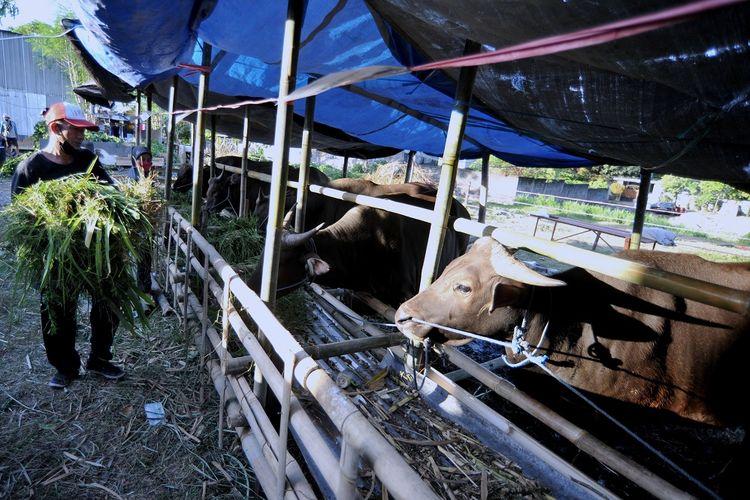 Pekerja memberikan pakan ternak sapi untuk hewan kurban yang dijual di kawasan Mahendradata, Denpasar, Bali, Jumat (16/7/2021). Menurut pedagang, menjelang hari raya Idul Adha 1442 H permintaan hewan kurban berupa kambing dan sapi yang dijual dengan harga Rp2,6 juta hingga Rp21 juta tersebut mengalami penurunan hingga 60 persen akibat pandemi COVID-19. ANTARA FOTO/Fikri Yusuf/hp.