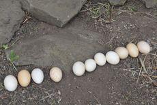 Benarkah Telur Ayam Kampung Lebih Sehat daripada Telur Ayam Ras?