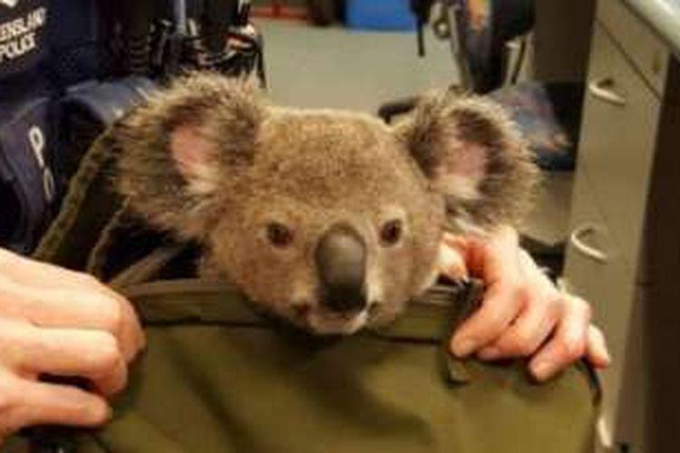 Koala kecil ini mengalami dehidrasi tapi dalam kondisi baik.