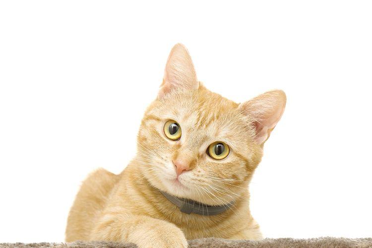 Ilustrasi kucing, kucing peliharaan.