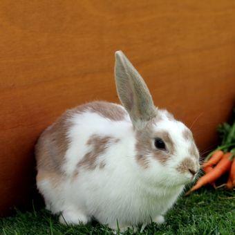 Ilustrasi ras kelinci mini lops