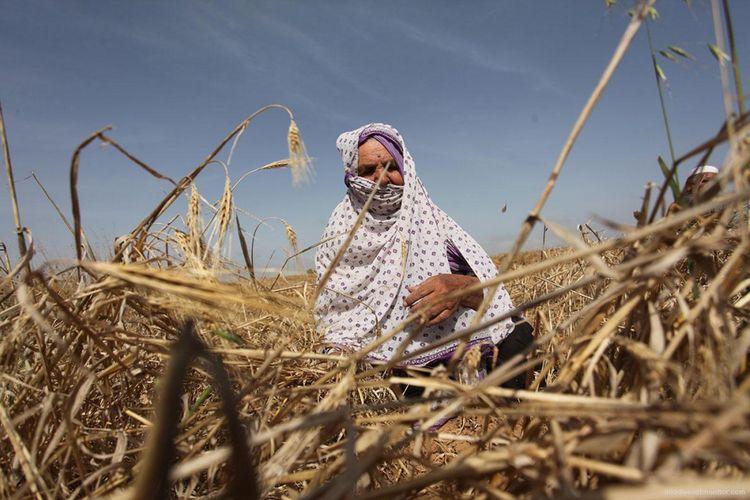 Foto dokumen petani sedang memanen gandum di lahan pertanian di wilayah Gaza.