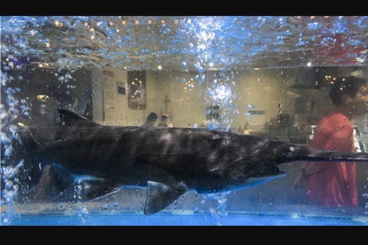 Ikan sturgeon China yang langka dan terancam punah ditemukan dijual di sebuah supermarket di China.