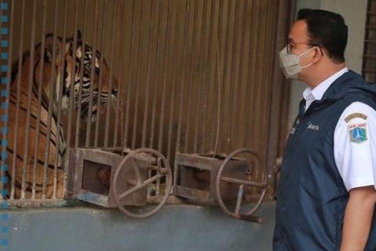 Gubernur DKI Jakarta Anies Baswedan mengunjungi harimau Sumatra yang terpapar Covid-19 di Raman Margasatwa Ragunan, Minggu (1/8/2021)