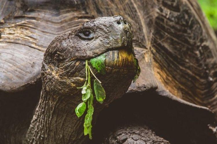 Kura-kura raksasa tak hanya dapat dilatih tetapi juga memiliki ingatan kuat.