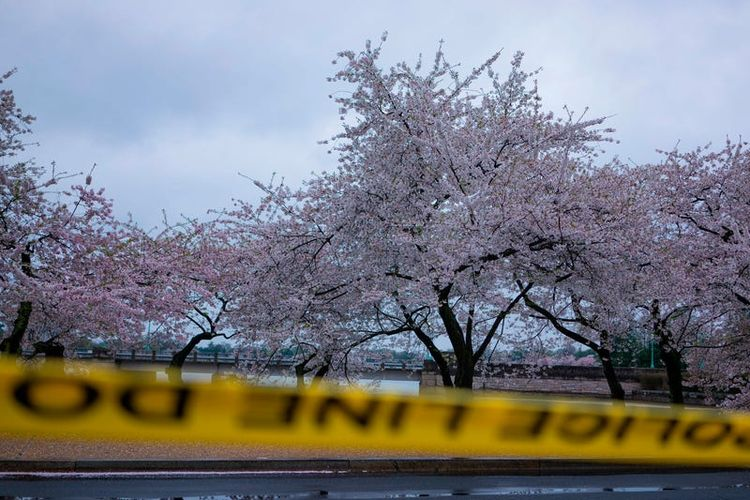 Bunga sakura di National Mall, Washington DC, Amerika Serikat.