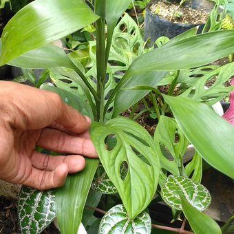 Ilustrasi tanaman hias.