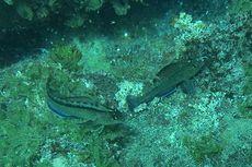 Organ Seks Ikan Meningkat di Lautan Tinggi CO2, Kok Bisa?