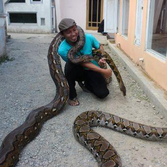 Munding Aji (30), seorang pemuda dari RT 2 RW 1 Desa Gunungsari, Kecamatan Pejagoan, Kebumen, Jawa Tengah, mengoleksi 10 ular piton besar. Tiga di antaranya, seperti di foto, bernama Syahrini (di tangan kiri), Rambo (yang terkalung di leher) dan Shely (yang menjalar di tanah).