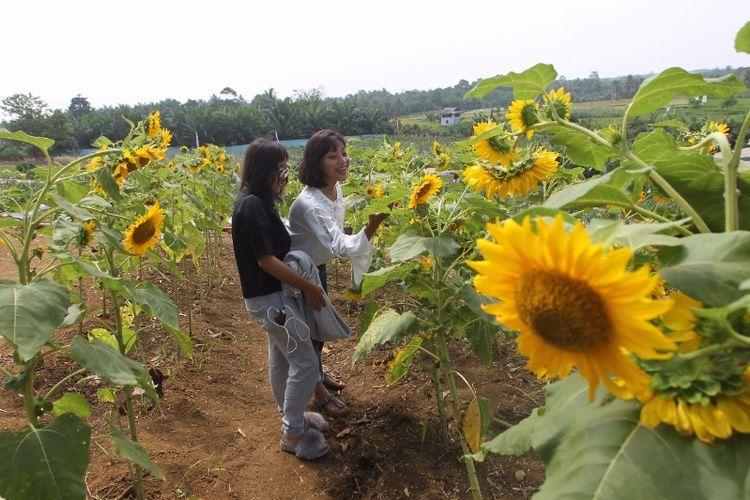 Pengunjung berpoto di sela bunga matahari di Taman Edukasi dan Wisata Pertanian, Bengkulu Selatan