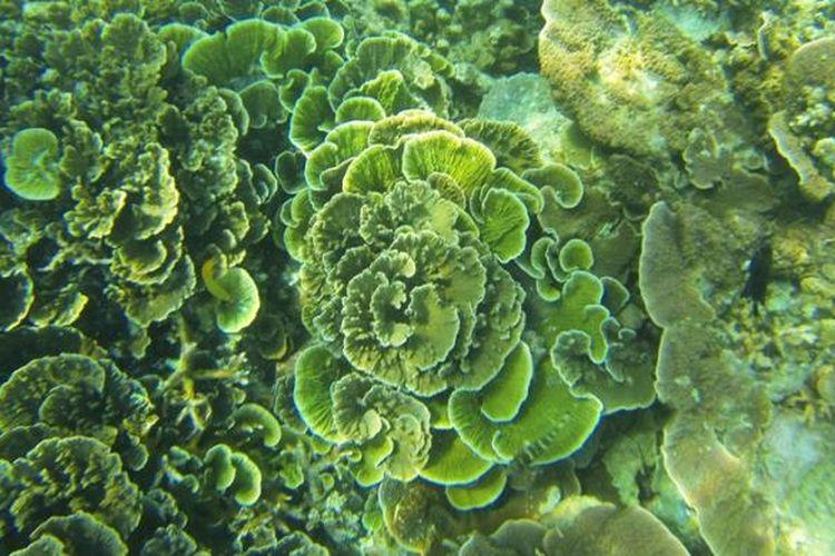 Keindahan ekosistem terumbu karang yang terancam