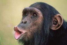 Ilmuwan Terjemahkan Bahasa Isyarat Simpanse