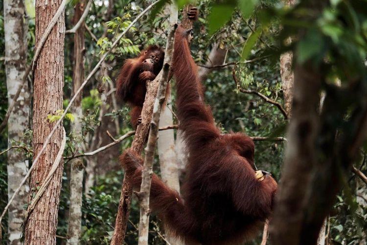 Orangutan di Tanjung Puting