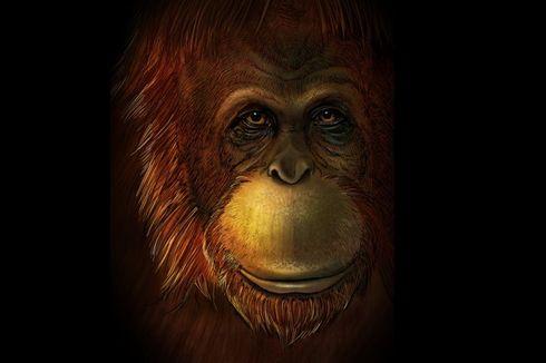 Misteri Kera Raksasa Setinggi 3 Meter Terkuak, Masih Kerabat Orangutan
